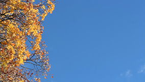 Autumn maple against the blue sky. Sunny day in autumn forest. Leaf fall, autumn landscape stock video