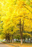 Autumn maple alley Stock Images