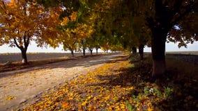 Autumn maple alley stock video