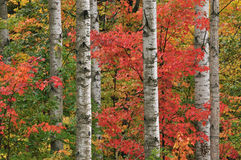 Autumn Maple and Aspens Royalty Free Stock Image