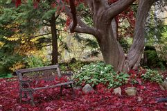 Autumn Maple with Bench Royalty Free Stock Image