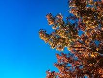 Autumn Maple-bladachtergrond Royalty-vrije Stock Foto