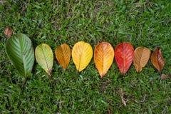 Autumn Maple-Blattübergang und Veränderungskonzept für Fall und Änderung der Jahreszeit lizenzfreie stockfotos