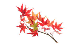 Autumn maple branch. Maple branch with white background Royalty Free Stock Images