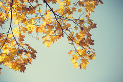 Autumn maple branch Stock Photography