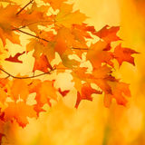 Autumn maple branch with bright vibrant leaves Stock Photo