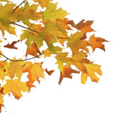 Autumn maple branch with bright vibrant leaves Royalty Free Stock Image