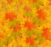 Autumn maple branch with leaves Stock Photos