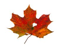 Autumn maple branch with leaves isolated Royalty Free Stock Photo
