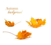 Autumn maple branch with leaves isolated on background Royalty Free Stock Photos