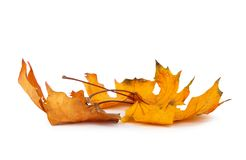 Autumn maple branch with leaves isolated Stock Photos