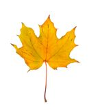 Autumn maple branch with leaves isolated Royalty Free Stock Photography
