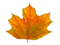 Autumn maple branch with leaves isolated Stock Images