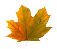 Autumn maple branch with leaves isolated Stock Photo