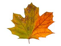 Autumn maple branch with leaves isolated Stock Photography