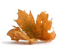 Autumn maple branch with leaves isolated on  white background Stock Images