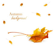 Autumn maple branch with leaves isolated on background Stock Photos