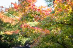 Autumn Maple branches in the sun at Koko-en Garden, Japan. Colorful Maple tree branches in autumn on a blurred background at Koko-en Garden in Himeji, Japan royalty free stock photos