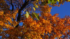 Autumn maple crone stock video