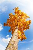 Autumn maple crown over blue sunny sky Royalty Free Stock Photos