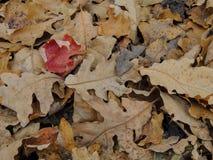 Autumn Maple en de Eiken Dalingsbladeren sluiten omhoog in het Bos op Rose Canyon Yellow Fork Trail in Oquirrh-Bergen op Wasatch  stock fotografie
