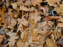 Autumn Maple en de Eiken Dalingsbladeren sluiten omhoog in het Bos op Rose Canyon Yellow Fork Trail in Oquirrh-Bergen op Wasatch  stock foto