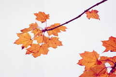 Autumn maple foliage. Red maple foliage in autumn Royalty Free Stock Images