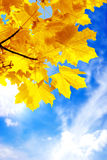 Autumn maple foliage. Autumn foliage against the sky Royalty Free Stock Image