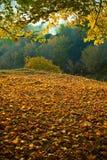 Autumn maple forest Stock Photos