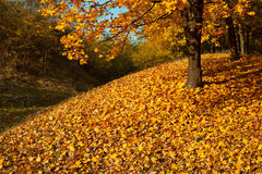 Autumn maple forest Stock Image