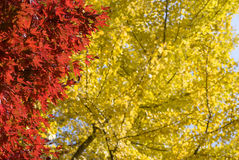 Autumn maple and ginkgo leaves Stock Photos