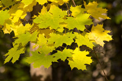 Autumn maple, Royalty Free Stock Photo