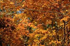 Autumn Maple Highlights Immagine Stock