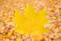 Free Autumn Maple Leaf Royalty Free Stock Photography - 102112147