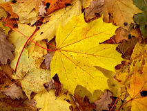 Autumn maple leaf Stock Image