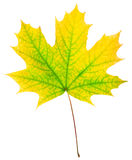 Autumn maple-leaf. Isolated on a white background Royalty Free Stock Photography