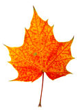Autumn maple-leaf. Isolated on a white background Royalty Free Stock Images