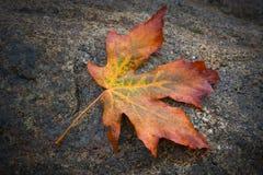 Autumn Maple Leaf. Colorful autumn maple leaf resting on granite bolder stock photo