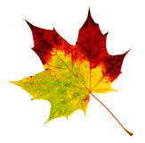 Autumn Maple Leaf. Isolated on white stock photography