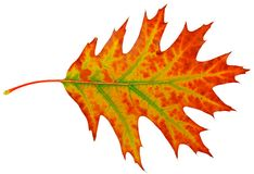 Autumn maple-leaf Stock Photo