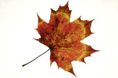 Autumn,maple leaf. Dry maple leaf on a white background Royalty Free Stock Photos