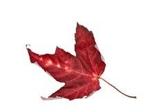 Autumn maple leaf. Stock Images