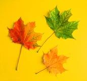Autumn maple leaf. Autumn  maple leaf  three on yellow background Stock Image
