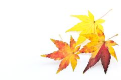 Autumn Maple Leaf. This is a picture of colored maple leaves in autumn Royalty Free Stock Photography