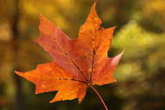 Autumn Maple Leaf Royalty-vrije Stock Foto's