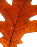 Autumn maple leaf Stock Images