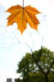 Autumn maple leaf. Orange autumn maple leaf on sky background Royalty Free Stock Photography
