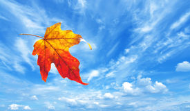 Free Autumn Maple Leaf Royalty Free Stock Photography - 57554697