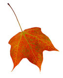 Autumn Maple Leaf Stock Images