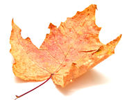 Autumn maple leaf. On white background. Isolation, shallow DOF Royalty Free Stock Image